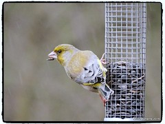 Female Siskin on a feeder.Low Barns 15th April 2016 (Tigeress blue) Tags: bird siskin lowbarns naturereserves gardenbird femalesiskin wendyminto