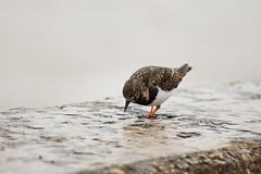 Searching (Future-Echoes) Tags: bird wet water animal wall coast march dof bokeh feathers depthoffield essex ruddyturnstone 2016 waltononthenaze