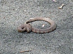 Unhappy Copperhead (mcfeelion) Tags: cycling snake copperhead cct millcreekpark crosscountytrail annandaleva