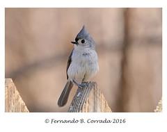 Tufted Titmouse (2673) (fbc57) Tags: birds vermont tuftedtitmouse baeolophusbicolor titmice paridae westrutland nikond800 sigma150600f563dgoshsmsport westrutlandmarshboardwalk