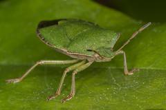 1547 Green Shield Bug -  Palomena prasina (Pete.L .Hawkins Photography) Tags: green bug pentax shield prasina palomena pentax100mmmacro petehawkins petehawkinsphotography pentaxk3 petelhawkins pentaxmacroinsects