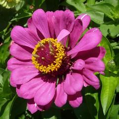 Glencoe, IL, Chicago Botanic Garden, Pink Zinnia Flower (Mary Warren (7.0+ Million Views)) Tags: pink flower macro nature yellow flora blossom bloom zinnia chicagobotanicgarden glencoeil