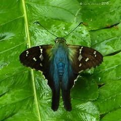 Urbanus sp. (LPJC) Tags: butterfly colombia skipper santamaria 2015 urbanus lpjc
