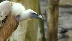 common griffon (buidl-lemmy) Tags: bird vulture vogel griffon geier