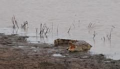 Crocodile (little_duckie) Tags: africa elephant zebra giraffe hippopotamus hyena zambia bigfive southluangwa southluangwanationalpark