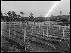 Moonrise Over Newly Planted Vineyard (Thodoris Tzalavras) Tags: nightphotography trees photography vineyard nightscape cyprus moonrise astrophotography cy 9x12 speedgraphic xrayfilm optar135 agfahdr