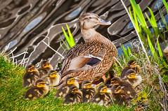 Duck family (Jan 1147) Tags: family animals duck belgium familie dieren eend eenden depinte platinumheartaward eendenfamilie kroostrijkgezin