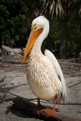 American White Pelican (Pedro1742) Tags: white texture beak feathers pelican american