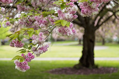 Little Voice (Synapped) Tags: pink flower tree college cherry washington spring branch blossom clark second