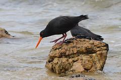 Abel Tasman - 06 (coopertje) Tags: ocean park newzealand bird beach coast national southisland abel tasman nieuwzeeland variableoystercatcher