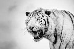 _XT13754 (Kazuky Akayashi) Tags: blackandwhite bw noiretblanc wildlife nb fujifilm animaux whitetiger tigres 100400 wildlifephotography xt1 xtrans fujixt1 fujinonxf100400f4556rlmoiswr