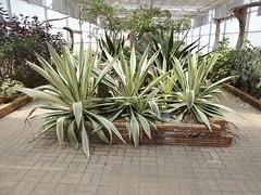 Furcraea foetida (L.) Haw. Asparagaceae-Giant Cabuya,  (SierraSunrise) Tags: plants thailand chiangmai maerim ornamentals asparagaceae qsbg