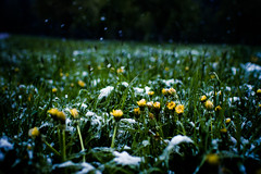 surprise, surprise (TSET0147) Tags: schnee snow 35mm canon dof bokeh wiese depthoffield lwenzahn redring llens 52weeks 35l tset festbrennweite canonef35mmf14lusm snowinapril canon7d canon35l14 52wochen tset0147 projekt52wochen diefestbrennweite facebookdiefestbrennweite maybe52weeks schneeendeapril