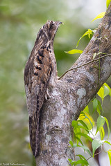 BJ8A3031-Northern Potoo (Nyctibius jamaicensis) (tfells) Tags: bird nature america central honduras camouflage northern jamaicensis potoo nyctibius nyctibiusjamaicensis