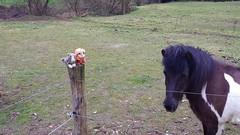 Our new friend (rocknrolltheke) Tags: horse plushies softies smokey pferd paddock stofftiere wicket koppel icelandichorse plschtiere islandpferd smokeystravelcorner