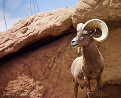 Big Horn Sheep (One Way Productions) Tags: arizona southwest big desert sheep tucson wildlife horn 18200mm canoneos60d