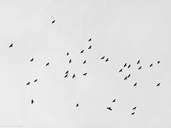 Alpine choughs, Aplendohlen (Pyrrhocorax graculus) (scubaluna) Tags: nature birds outdoors schweiz switzerland tiere wind himmel april monochrom schwarzweiss schwarz segeln frhling fliegen flumserberg fhn segelfliegen dohlen choughs lebewesen lebensraum wildtiere aussenaufnahme vogelschwarm teleobjektiv thermik alpendohlen fhnlage gestaffelt tierischesverhalten