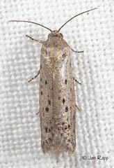 02353 Homadaula anisocentra - Mimosa Webworm Moth 1b (8TL) (MO FunGuy) Tags: missouri 2353 mimosawebwormmoth homadaulaanisocentra