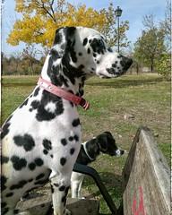 La patrulla canina (J L Ventura) Tags: perros canina dlmata
