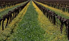 Un si droit chemin (Emmanuelle2Aime2Ailes) Tags: perspective paysage vignes
