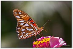 Agraulis vanillae - Gulf fritillary (J. Amorin) Tags: macro canon butterfly 7d mariposa gulffritillary agraulisvanillae canon10028macro macuspana tabascomexico mariposasypolillas