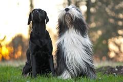 Hans guck in die Luft (laboheme82) Tags: dog dogs labrador hund beardie beardedcollie hunde labbi