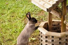 Toki making a wish (Tjflex2) Tags: boy pets canada cute rabbit bunny bunnies nature girl vancouver mammal furry pretty bc friendship fuzzy conejo small adorable cuddly coelho playful lapin usagi wishingwell krolik kanin lagomorph toki lepus fenek iepure muyal kelinci ilconiglio coinin sungura leporidea