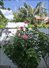 Pink Roses IZE_15649 (Zachi Evenor) Tags: flowers roses flower rose garden israel gardening april mygarden    2016 rosea            zachievenor