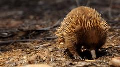 Tachyglossus aculeatus (Diana Padrn) Tags: de o australian australia victoria australiano corto apollobay hocico capeotway aculeatus equidna tachyglossus greatotwaynationalpark carnivorousblacksnail