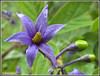 Solanum dulcamara (Marco Ottaviani on/off) Tags: flowers plants nature canon natura fiori piante poisonous solanum morella solanaceae dulcamara velenoso marcoottaviani