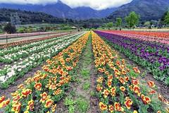 Tulips ... (Bijanfotografy) Tags: flowers zeiss spring nikon tulips blossom kashmir srinagar jk tulipgarden jammukashmir zeiss15mm nikond800 zeissdistagon15mm28