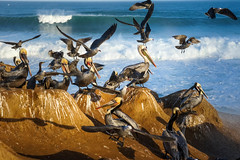 La Jolla California - Bird Action (BernieErnieJr) Tags: ocean california bird pelicans water sunshine birds sunrise waves gull gulls lajolla pelican brownpelican thecove shorebird childrensbeach greatphotographers carlzeiss2470mm teamsony sonya99