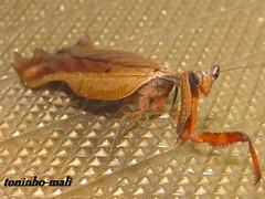 Louva a Deu (toninho_mali) Tags: mantis