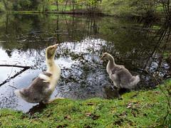 Goslings dipping a toe (Elise Swart) Tags: france geese country goose gans ganzen goslings gosling frankrijk fr campagne fishpond lafrance vijver tang platteland ldf gansje pootjebaden visvijver gansjes