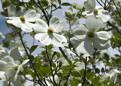 dogwood (Shotaku) Tags: flowers trees white flower garden spring explore blooms