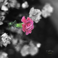 (101/16) Detalle de primavera (Pablo Arias) Tags: madrid espaa flores photoshop cutout spain bokeh hdr texturas clavelinas parquedelcapricho photomatix nx2 pabloarias