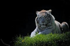 White Tiger - Weier Tiger (in explore 2016-04-21) (SchaeferNRW) Tags: zoo whitetiger zooparcoverloon weisertiger schaefernrw