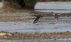 Rapides les bougres.... (Rgis B 31) Tags: bird action vol oiseau arige commonsandpiper actitishypoleucos charadriiformes mazres chevalierguignette scolopacids domainedesoiseaux