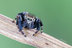 Hairy man (Darius Bauys) Tags: macro nature spider jumping close salticidae evarcha arcuata vaivoryktinismusgaudis