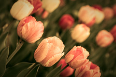 Jagged (bprice0715) Tags: flowers nature colors beautiful beauty canon outdoors spring colorful tulips bokeh springtime naturephotography beautyinnature canoneos5dmarkiii canon5dmarkiii