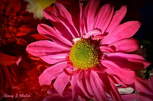 Pink In The Sunshine.  DSC_6392