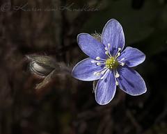 Lone Hepatica (KvonK) Tags: macro nature spring sunny april handheld wildflower hepatica 2016 nikon105mmf28macro kvonk