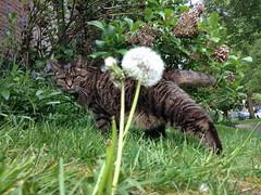 160423-miso-stretch-look-dandelion (zverina.com) Tags: dandelion makeawish catplanet misothecat
