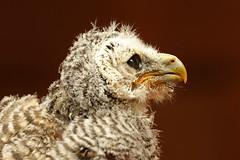 Chaco Owl - Strix chacoensis (Roger Wasley) Tags: southamerica argentina bolivia herefordshire paraguay owls birdsofprey kington owlet smallbreedsfarmparkandowlcentre chacoowl strixchacoensis