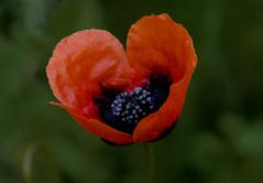 Orange Poppy!! (Good Nature One) Tags: blue orange black flower macro green nature bloom orangepoppy