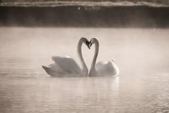 Love is... (stephen.darlington) Tags: england bird love unitedkingdom surrey vertebrate muteswan cygnusolor bushypark