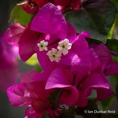 Beauty within the bracts (idunbarreid) Tags: bougainvillea