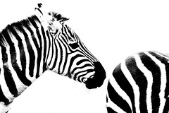 how should i name it? (explored) (bauingenieuse) Tags: two blackandwhite white black love animals zoo tiere blackwhite spring outdoor together zebra barcode monochrom tierpark darmstadt schwarz liebe springtime frhling vivarium 2016 frhjahr weis zusammen schwarzweis explored bauingenieuse