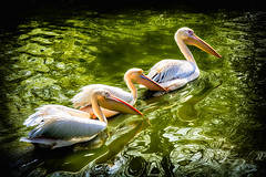 Three in a Row ..... ( Today no flowers ) (scorpion (13)) Tags: sun color pelicans nature birds animals zoo spring creative cologne