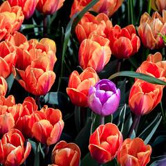 rebel (JonathanIchikawa) Tags: flowers tulips abbotsford tulipfestival
